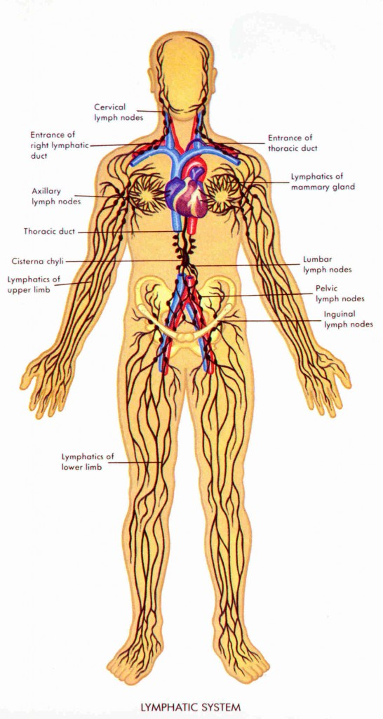 Lymphatic System Mushroom Help